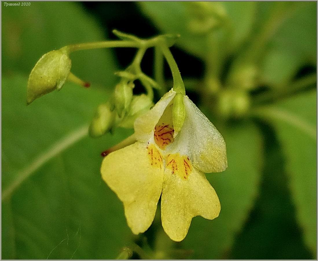 Недотрога мелкоцветковая (Impatiens parviflora) Автор фото: Сергей Апполонов