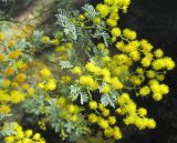 Acacia chinchillensis