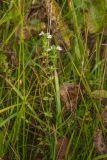 Euphrasia fennica