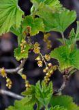 Ribes spicatum