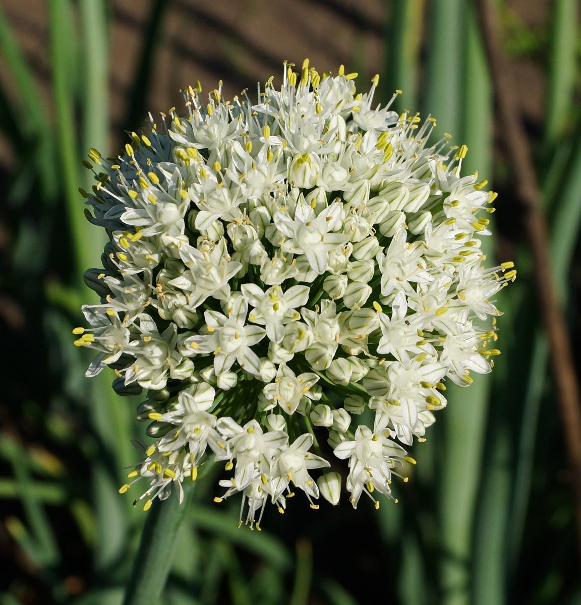 анкудиновский парк соцветие репчатого лука фото приходилось милицию вызывать