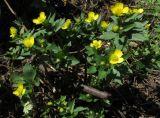 Ranunculus cassubicus ssp. kemerovensis