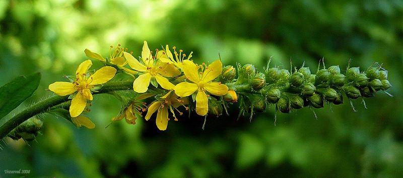 Репешок аптечный (Agrimonia eupatoria) Автор фото: Сергей Апполонов