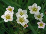 Saxifraga × arendsii
