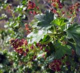 род Ribes