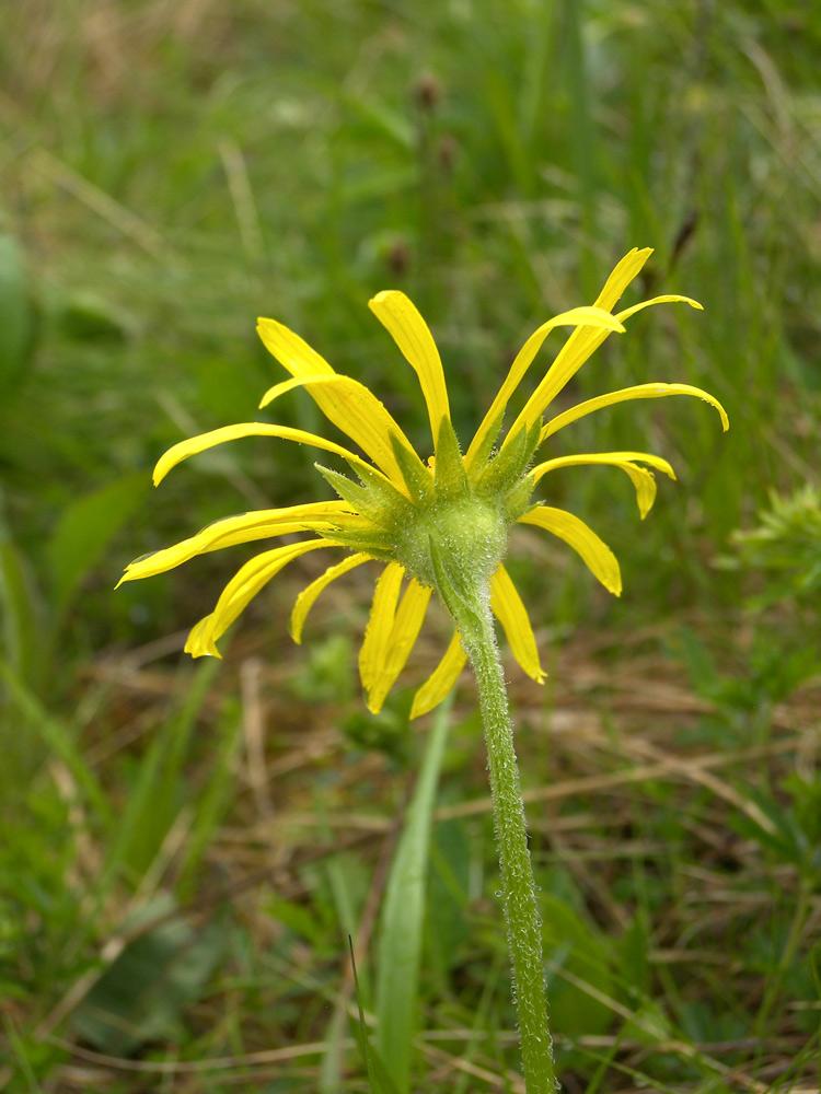 Изображение растения Doronicum oblongifolium.