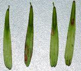 Fraxinus rhynchophylla