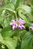 Phlomis majkopensis