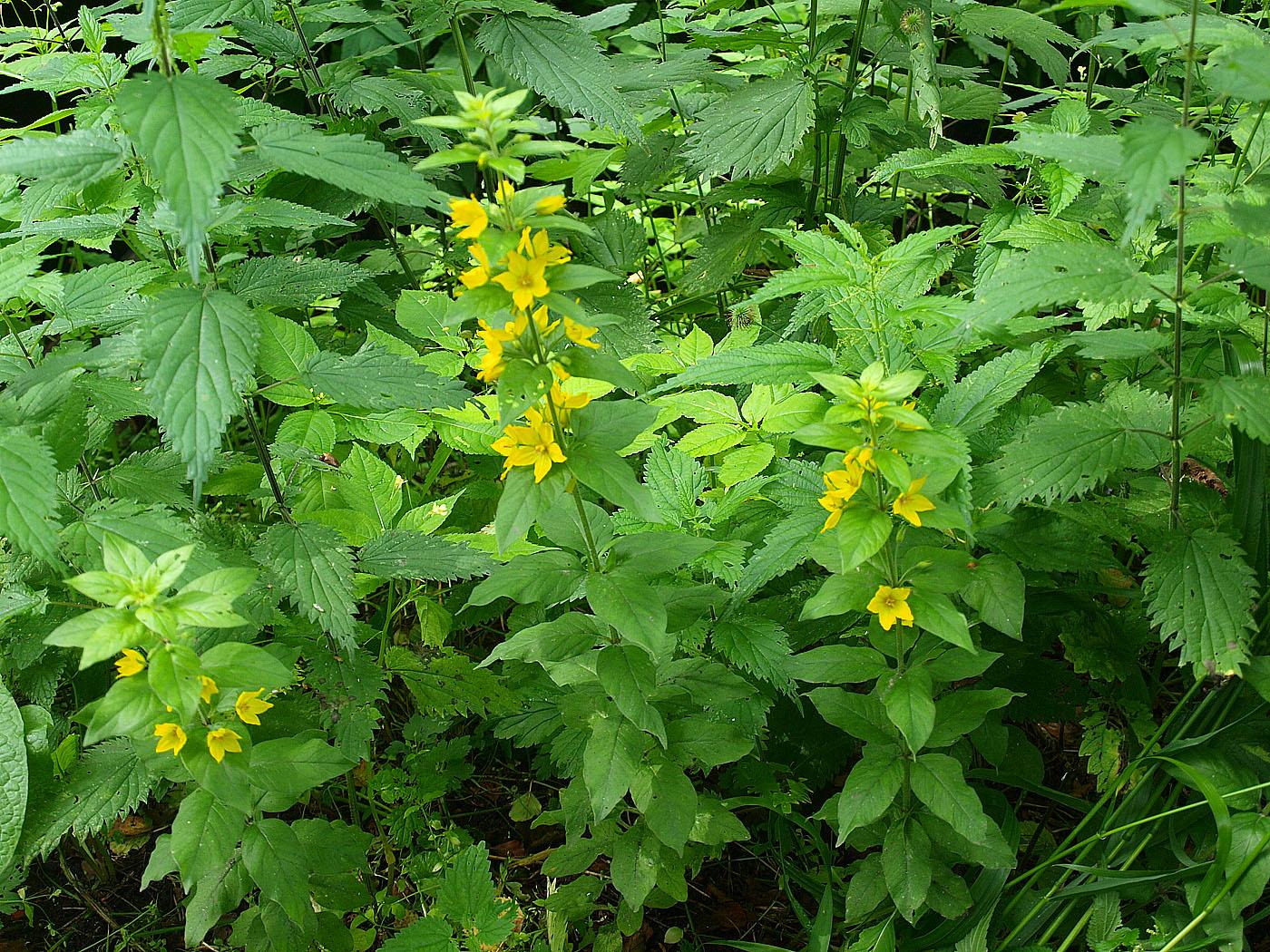 http://www.plantarium.ru/dat/plants/1/101/560101_a10e21f6.jpg