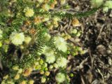 Acacia brunioides