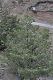 Juniperus deltoides