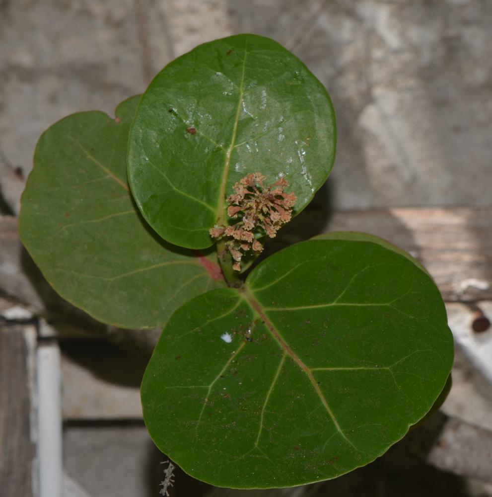 кокколоба ягодоносная