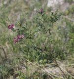 Astragalus cornutus