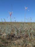 Allium praescissum