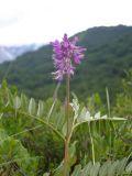 Hedysarum truncatum