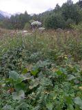 Macrosciadium physospermifolium