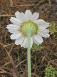 Anthemis ruthenica