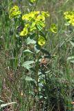 Euphorbia glareosa