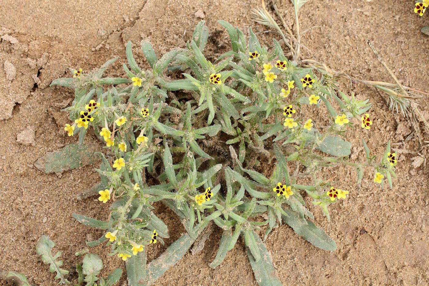 Изображение особи Arnebia decumbens.