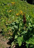 Caucasalia pontica