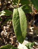 Inula salicina