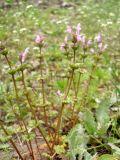 Lamium amplexicaule var. orientale