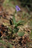 Viola × litoralis