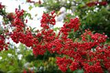 род Pyracantha