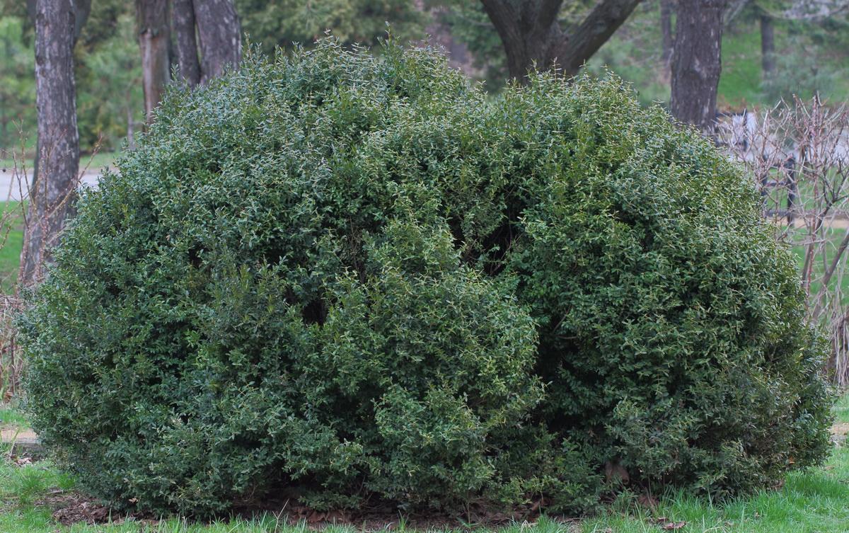 Самшит вечнозелёный (Buxus sempervirens)
