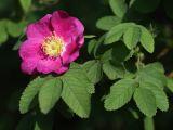 Rosa pratorum