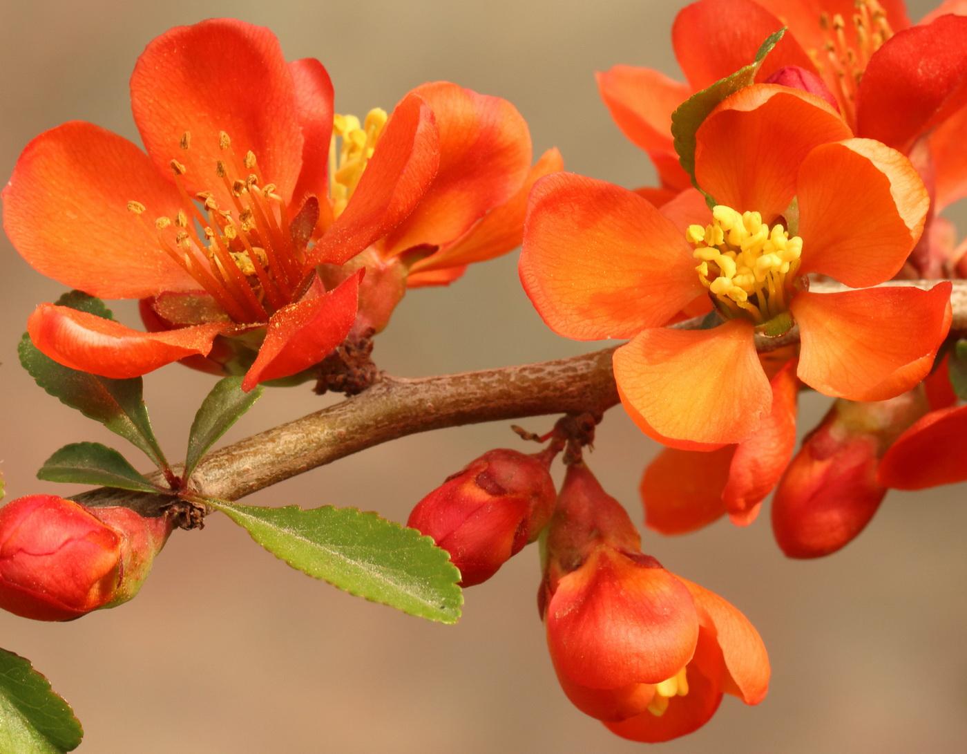 Айвочка японская (Chaenomeles japonica)