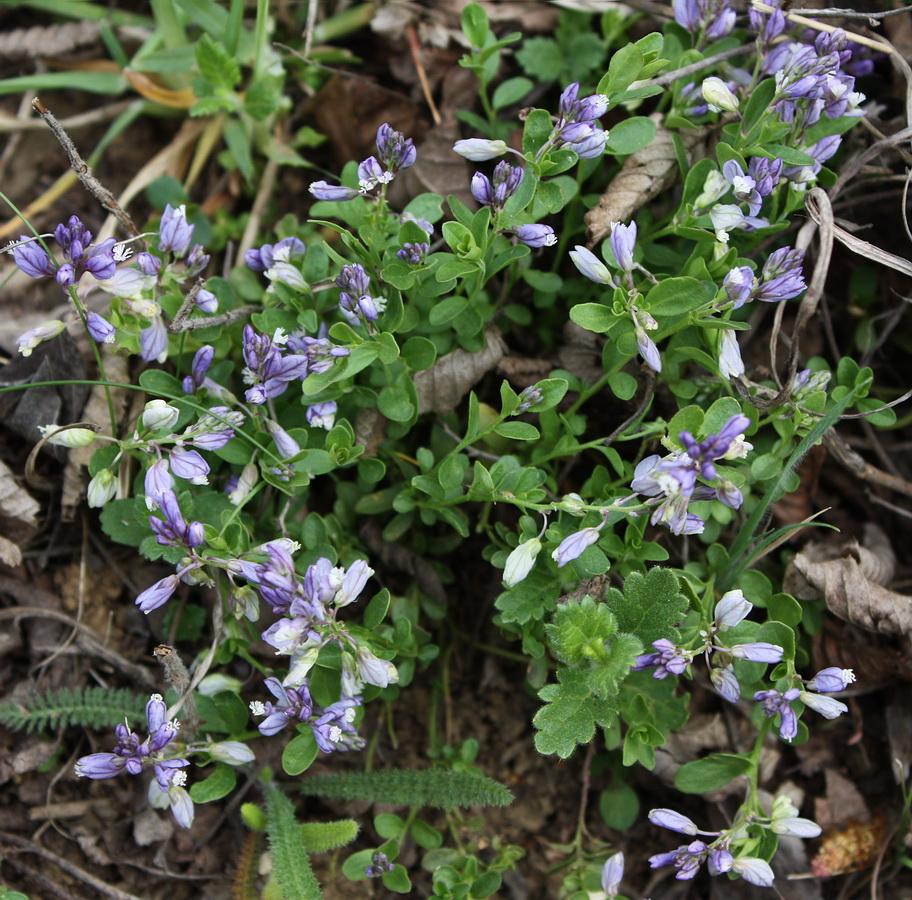 Изображение растения Polygala andrachnoides.