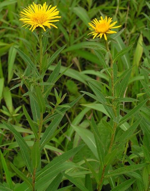 фото травы девясил