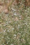 Allochrusa gypsophiloides