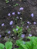 Asperula orientalis