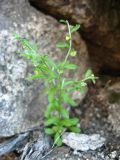 Hackelia thymifolia