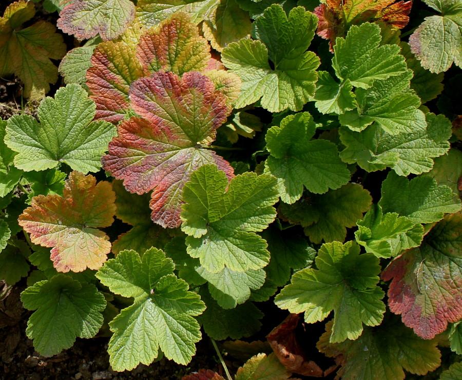 Изображение растения Waldsteinia geoides.