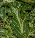 Eryngium glomeratum