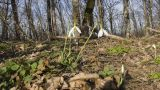 Galanthus plicatus