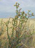 Anabasis aphylla