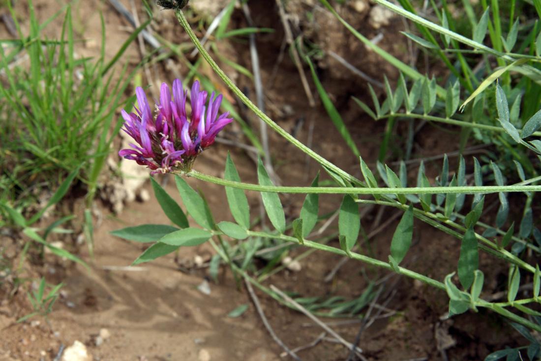 Изображение растения Astragalus stenanthus.