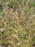 Goniolimon graminifolium