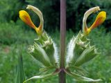 Phlomoides hissarica