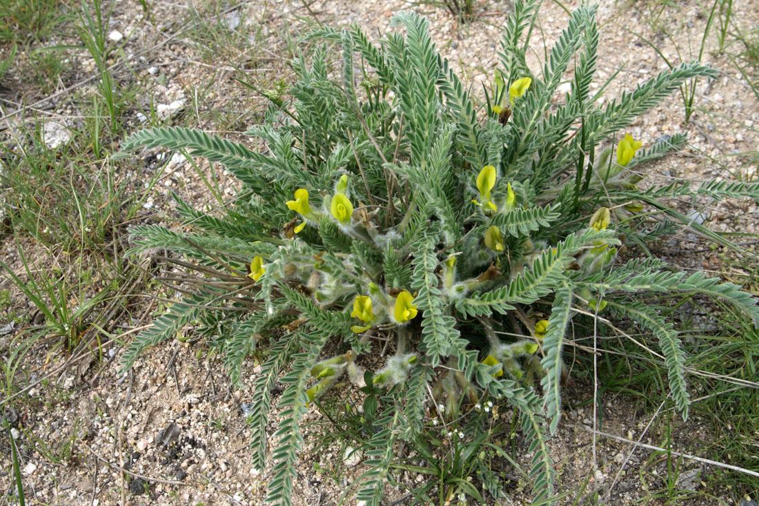 Изображение растения Astragalus janischewskii.