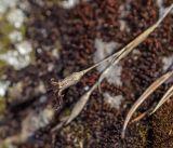Dianthus versicolor