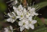 багульник болотный ботаническое описание