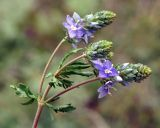 Veronica multifida