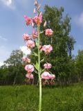 Lilium pilosiusculum