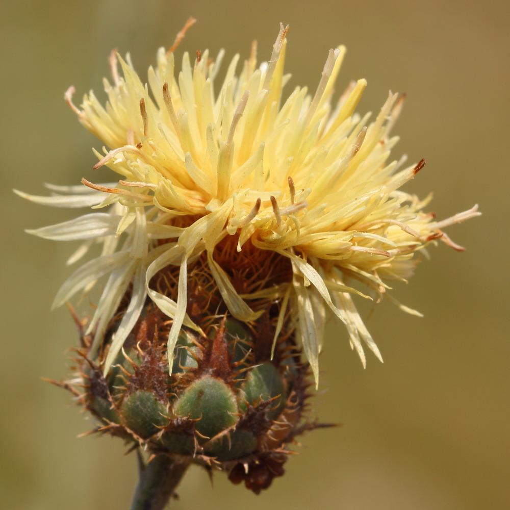 Василек жестколистный (Centaurea rigidifolia)