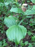 Cypripedium yatabeanum